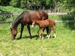Afbeeldingsresultaat voor paard met veulen