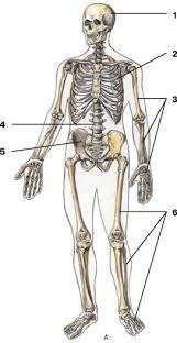 Форма и функции костей скелета человека Реферат К моменту рождения кости скелета окончательно еще не сформированы и многие из них состоят из хрящевой ткани рис 2