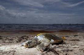 Image result for pictures of red tide 2018 in Florida