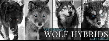 Wolf Vs Dog Size Chart Wolf Dog Size Chart
