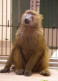 wisconsin one of five states where dangerous exotic animals can this baboon in a reinforced dog kennel at the dane county humane society was surrendered by