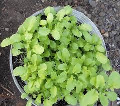 Kitchen Garden Seeds A Kitchen Garden In Kihei Maui Sources For Cover Crop Seeds
