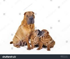 Chinese Shar Pei Puppies Mother Stock ...