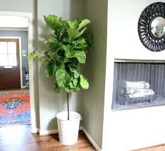 home depot green bay bay leaf plant home depot fiddle leaf fig bay laurel tree home depot