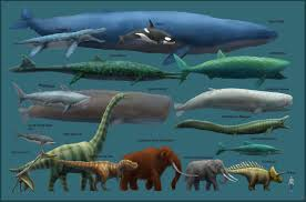 Whale Size Chart Blue Whale Size Chart Largest Animal Ever Blue Whale Size