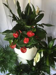 tropical office plants. office plants melbourne tropical cluster of peace lily antherium parlor palm calathea