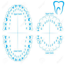 Orthodontic Tooth Chart Orthodontist Human Tooth Anatomy Vector With Numbering Of Teeth