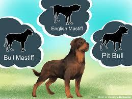 rottweiler dog vs pitbull. image titled identify a rottweiler step 9 dog vs pitbull s