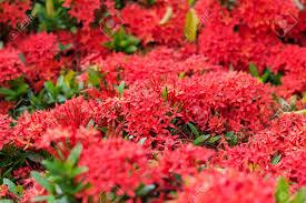 closeup red flower indian jasmine scientific name ixora chinensis lamk stock photo 15089056
