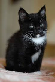 black and white kittens. Brilliant Kittens Black And White Kitten My Dog LOVES CatsHe Has 2 Of His Very Own I  Call This Little Fellow A Tuxedo Cat To And Kittens H