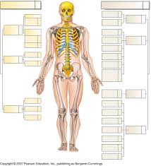 ch skeletal foothill anatomy physiology whole skeleton