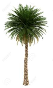 Image result for canary palm tree