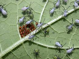Squash bug season? Images?q=tbn:ANd9GcRovk6s8SrkQ5i8T4McHaaW0bw0-sSfz1oHyPaivQsZBHXxPIIruQ