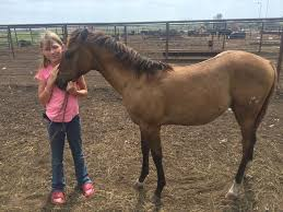 little cowgirl wins fancy filly winning essay verifying why  lori the dun quarter horse filly presented to mandy wainwright by the moon willow ranch san antonio texas is right at home on the bar flying w ranch at