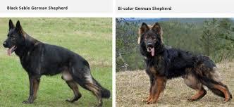 black and brown german shepherd puppies. Exellent German Rare Colors For Black And Brown German Shepherd Puppies H