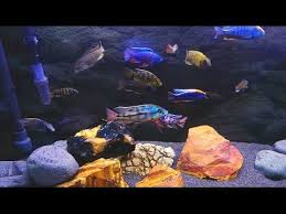 Best African Cichlid Genus Species Identification Video Ive