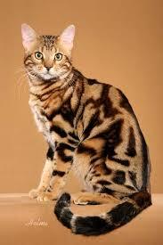 marble bengal cat. Modren Bengal Marbled Bengal To Marble Cat B
