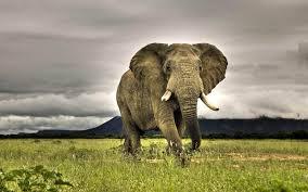 Ultra HD 4K Elephant Wallpaper Download ...