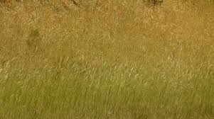 wild grass texture. A Solid Wall Of Wild Grass Blowing In A Summer Wind Weaving Texture And  Patterns ~ Video #39486200