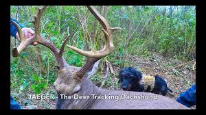 Jaeger The Deer Tracking Dachshund Youtube