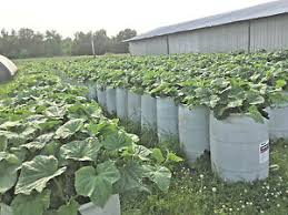 barrel garden. Image Is Loading 55-gallon-barrel-gardening-garden-grow-pickles-tomatoes- Barrel Garden