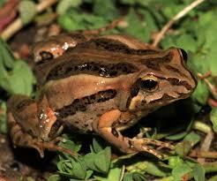 garden frogs. Plain Garden Common Eastern Froglets Inside Garden Frogs F