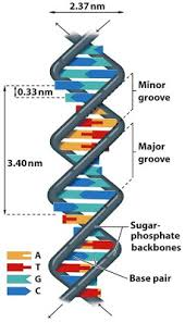 Sandwalk Dna Denaturation And Renaturation And The Role Of
