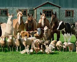 farm animals together. Wonderful Animals Farm Animals Together  Photo1 In Animals Together A