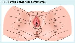 Female Organ Chart Female Pelvic Floor 1 Anatomy And Pathophysiology Nursing