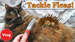 how to prevent and treat your cat from fleas homemade flea repellent tutorial competition