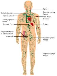 Discuss The Immune System Of The Body With A Neat Labelled