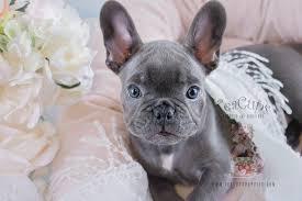 teacup blue french bulldog puppies.  Bulldog Blue French Bulldog Puppy For Sale 182 To Teacup Puppies A