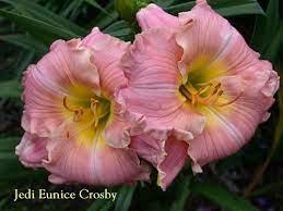Daylily (Hemerocallis 'Jedi Eunice Crosby') in the Daylilies Database -  Garden.org
