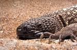 Images & Illustrations of beaded lizard