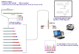 Dna Sequence Chart Sanger Sequencing Wikipedia