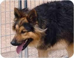 german shepherd tibetan mastiff mix. Delighful Tibetan And German Shepherd Tibetan Mastiff Mix E