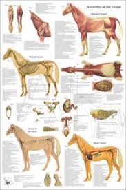 Details About Horse Equine Muscle Skeletal Anatomy Veterinary Poster 24 X 36 Chart