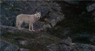 never cry wolf essay never cry wolf essay never cry wolf essay cry  cry wolf essay gq never cry wolf farley mowat essay