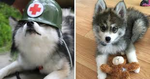 cute dogs and puppies husky. Plain Husky Meet Norman A HuskyPomeranian Puppy Thatu0027s So Cute It Doesnu0027t Even Look  Real  Bored Panda On Dogs And Puppies Husky Y