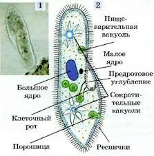 Инфузория туфелька простейшие пресных водоемов Сосущие  Рис 44 Инфузория туфелька 1 микрофотография 2 схема строения клетки