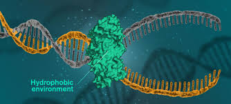 Hydrophobic Forces And Not Hydrogen Bonds Found To Hold Dna