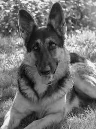 black and white german shepherd photography. Beautiful White Alsatian German Shepherd Black And White Photography Rin Tin By Lisza  Anne McKee In And R