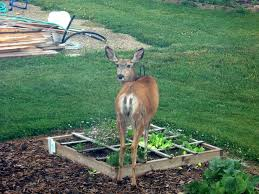 how to keep deer away from garden. how to keep deer out of a garden away from e