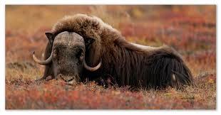 Животный мир тундры птицы и млекопитающие виды занесённые в  Овцебык реферат о животном тундры