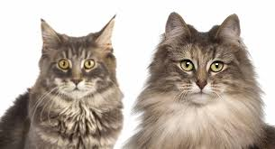 Maine Coon Vs Norwegian Forest Cat Know The Differences