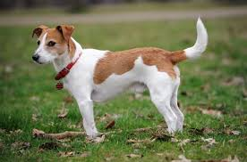 41 best small dog breeds with pictures