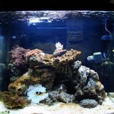 Dottyback Compatibility Chart Dottyback Compatibility And Tank Stocking Advise Reef