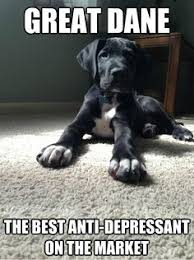 Great Danes on Pinterest | Harlequin Great Danes, Great Dane Puppy ... via Relatably.com