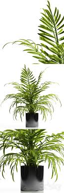 ARECA PALM PLANT 12
