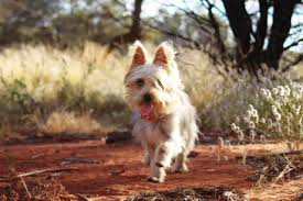 silky dog white. this is lucy an australian silky terrier, she would like to be a working dog white